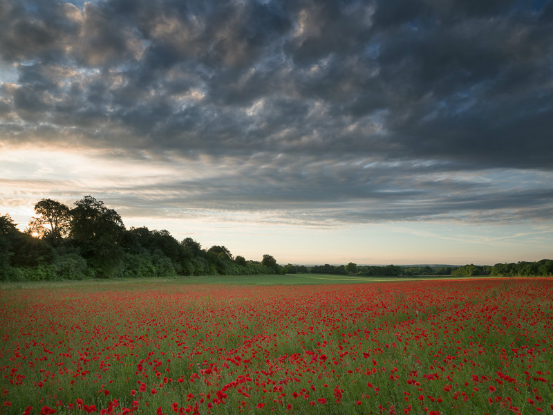 Wild poppy fields at sunset, Horsley, Surrey