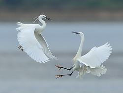 Little Egrets fighting, Farmoor Reservoir