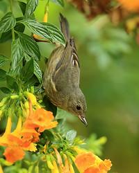 Slaty Flowerpiercer (female), Boquete, Panama
