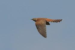 Cuckoo (hepatic morph) flying, Otmoor RSPB