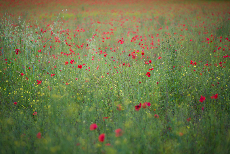 Wild poppies and wild flowers, Surrey