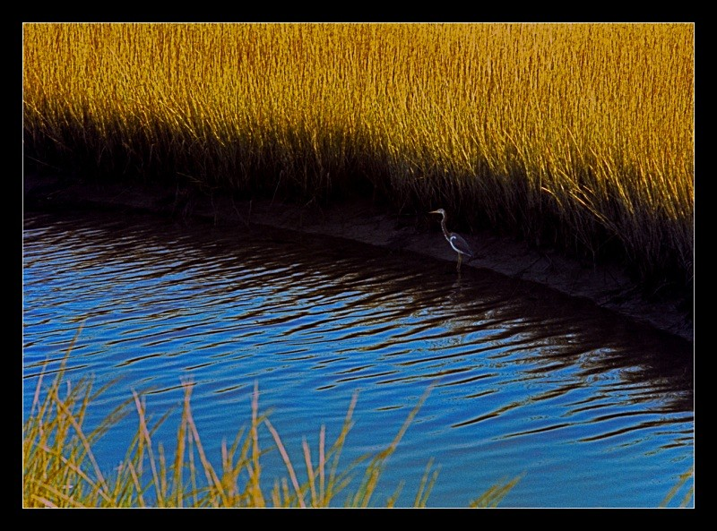 Blue Heron - Nature
