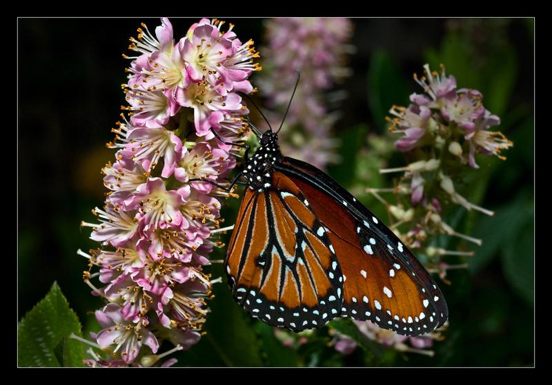 Queen Butterfly - Nature