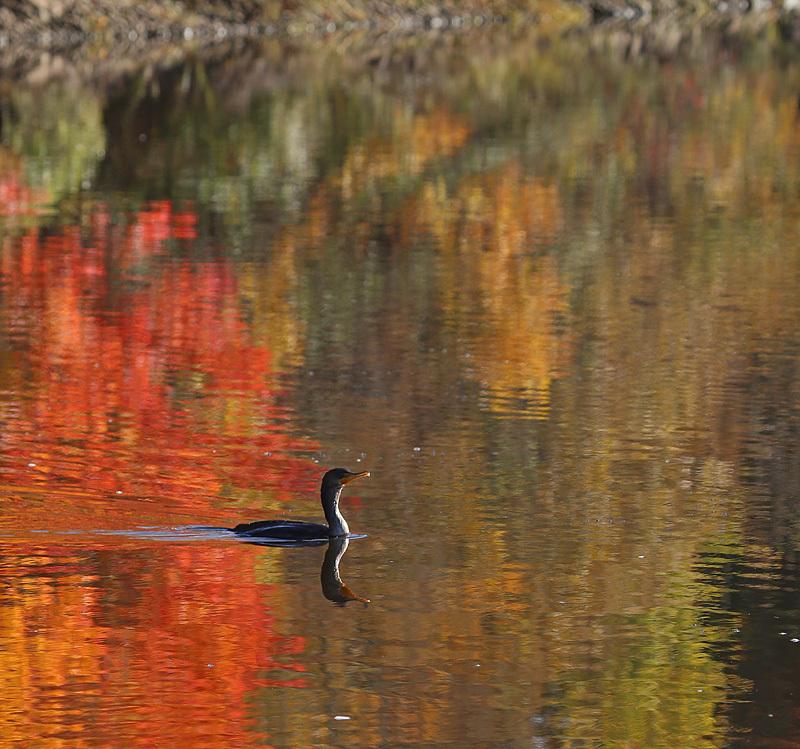 Double-Crested Cormorant in Autumn Waters - New Brunswick Autumn Foliage