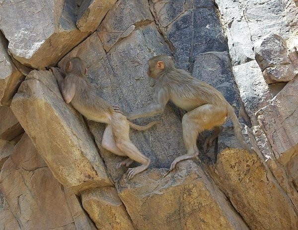 Monkeying around - India (Assam, Brahmaputra cruise, Agra and Jaipur)