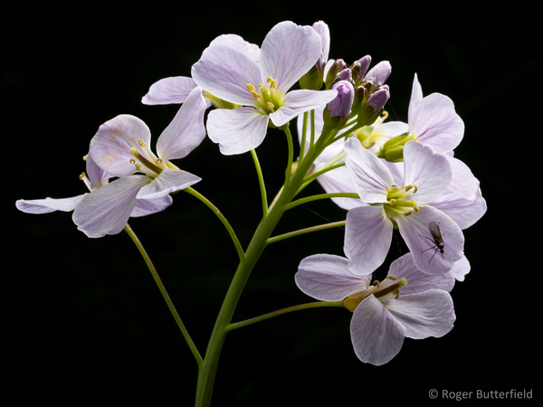 Cuckooflower photographed by Roger Butterfield