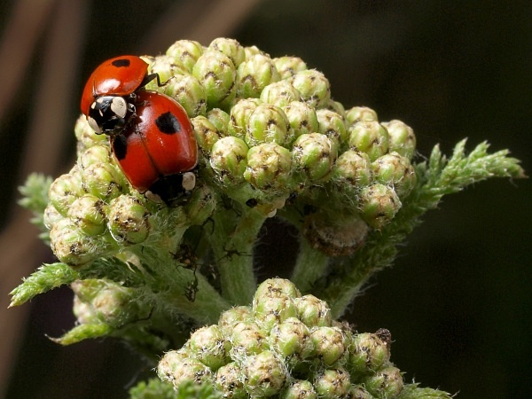 Two-spot Ladybird - Sharrow School's Green Roof
