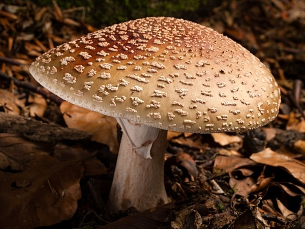Blusher mushroom, photographed by Roger Butterfield.