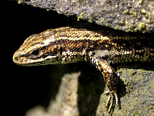 Viviparous Lizard (03) - Amphibians & Reptiles