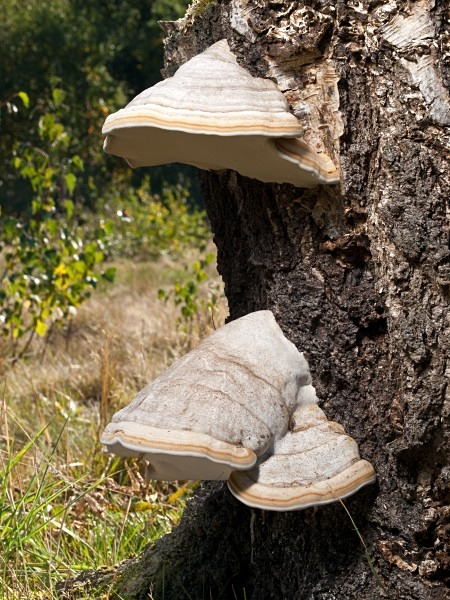 'Hoof Fungus', photographed by Roger Butterfield.