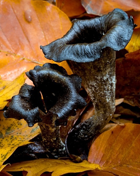 'Horn of Plenty' fungus, photographed by Roger Butterfield.