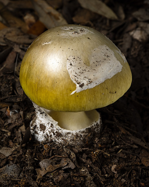 Deathcap mushroom, photographed by Roger Butterfield.
