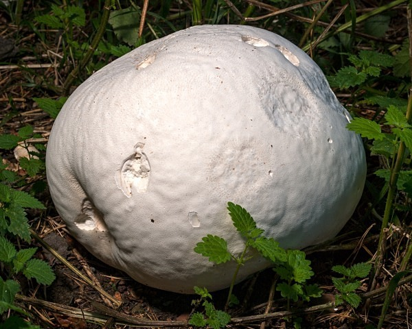 Giant Puffball fungus, photographed by Roger Butterfield.