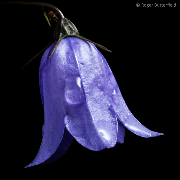 Harebell photographed by Roger Butterfield