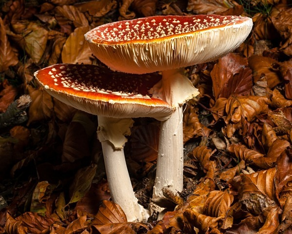 'Fly Agaric' mushrooms, photographed by Roger Butterfield