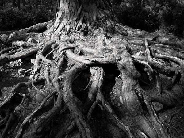Pine Roots - Landscape Details