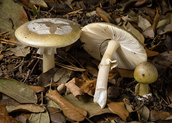 Deathcap mushrooms, photographed by Roger Butterfield.