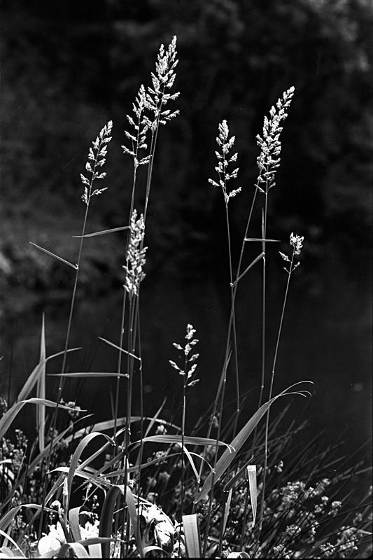 Tall Grass - Abstract & Still Life