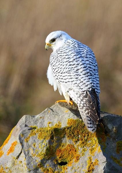 Gyr Falcon - Birds  -  Captive