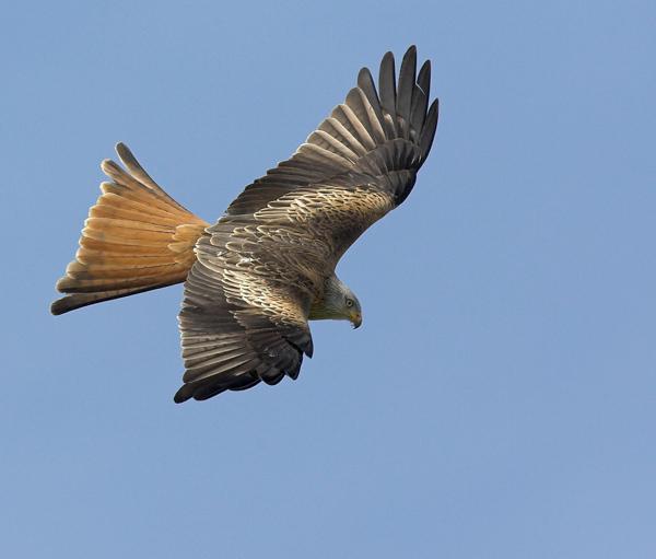 Black Kite - Birds  -  Captive