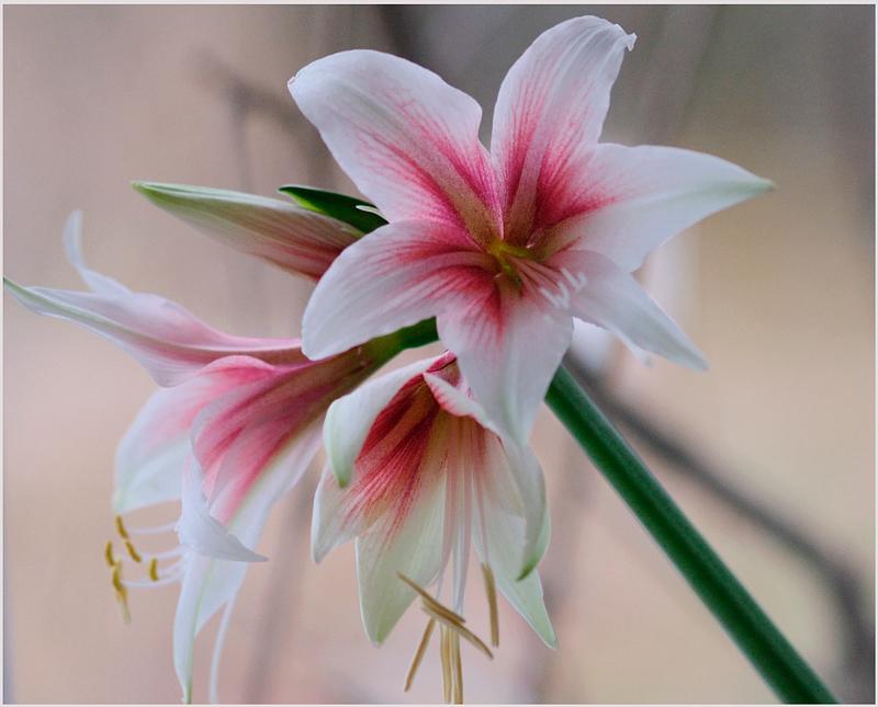 Hippeastrum 'Sweet Lilian' 2 - Windowsill Garden