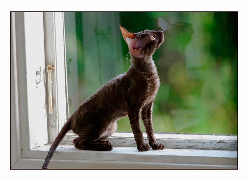 Coco 12 weeks - 3 - Mimmi's kittens