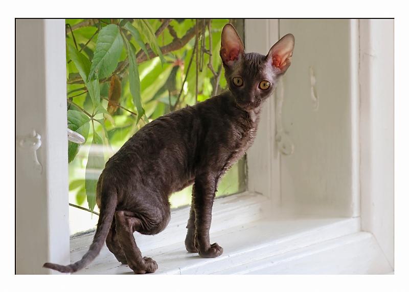 Coco 12 weeks - 2 - Mimmi's kittens