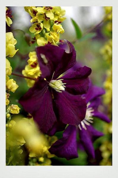 Clematis viticella 'Etoile Violette' 2 - Garden perennials