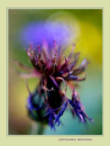 Centaurea montana 5 - Garden perennials
