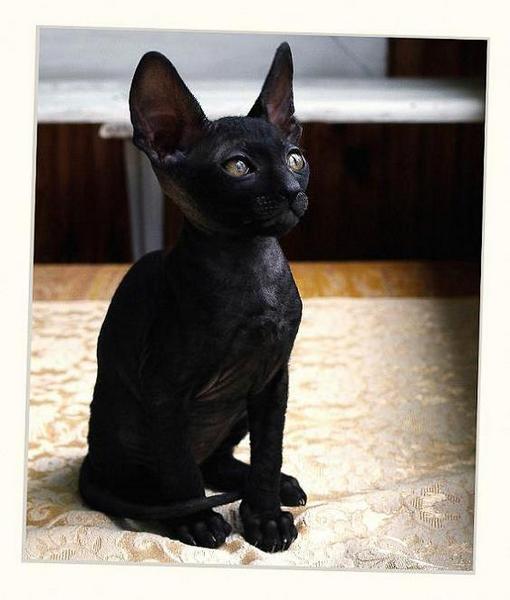 Black girl - Linssi's kittens - the 2nd litter