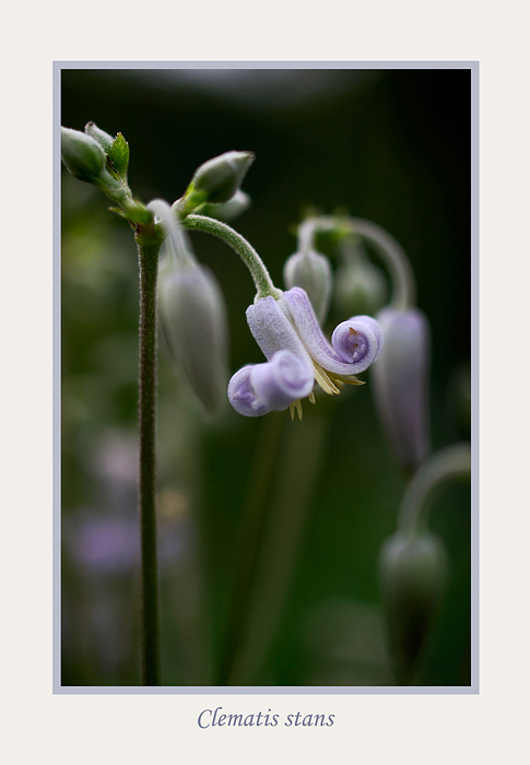 Clematis stans - Garden perennials