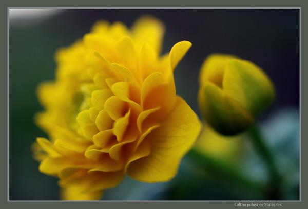 Caltha palustris 'Multiplex' - Garden perennials