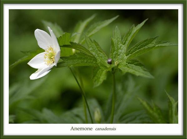 Anemone canadensis - Garden perennials