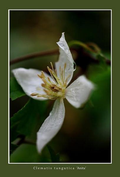 Clematis tangutica 'Anita' - Garden perennials