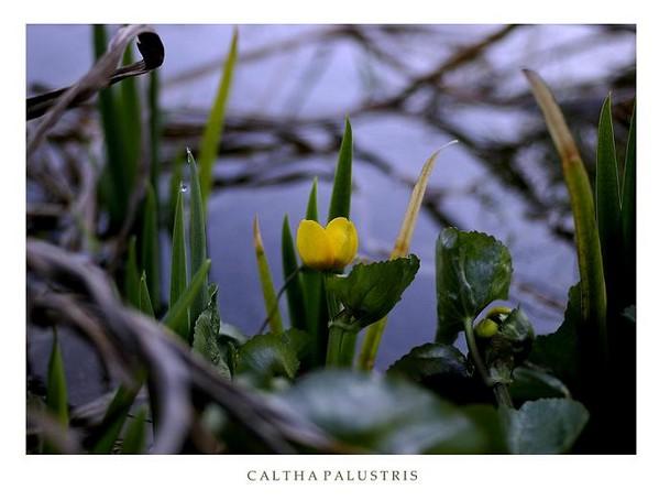Caltha palustris - Garden perennials
