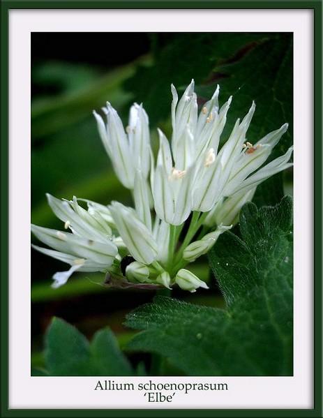 Allium schoenoprasum 'Elbe' - Garden perennials