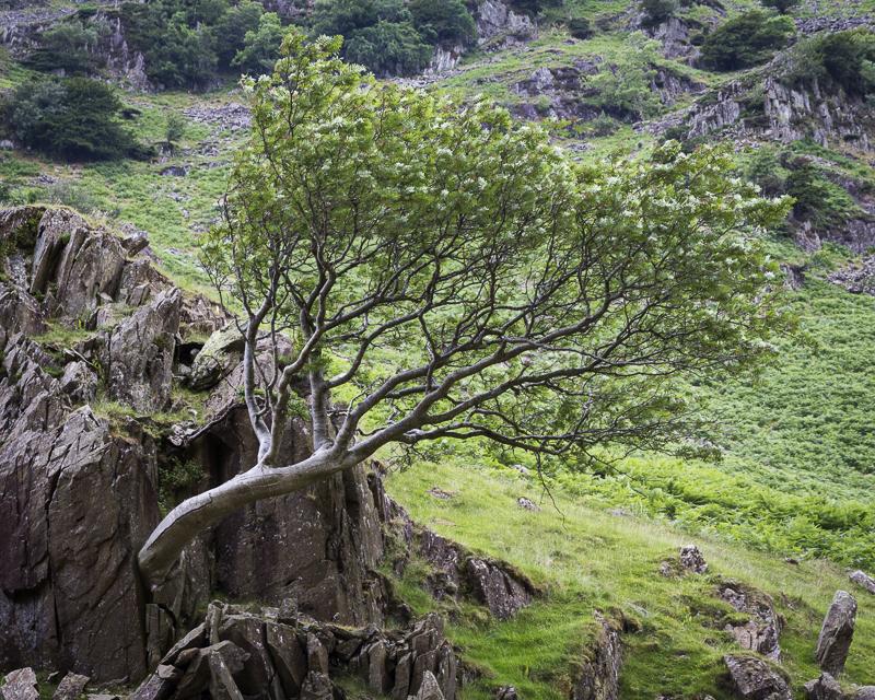 Lone Tree - English Lake District