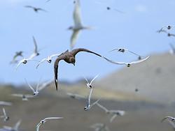Great Skua attacks Arctic Tern colony, Iceland
