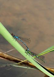 Dragonflies & Damselflies portfolio