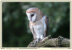 Barn Owls portfolio